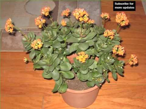 Jade Plant Decorating Idea With House Plants Picture Collection