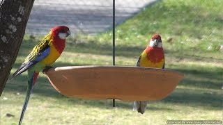 Eastern Rosellas with Crimson Rosellas