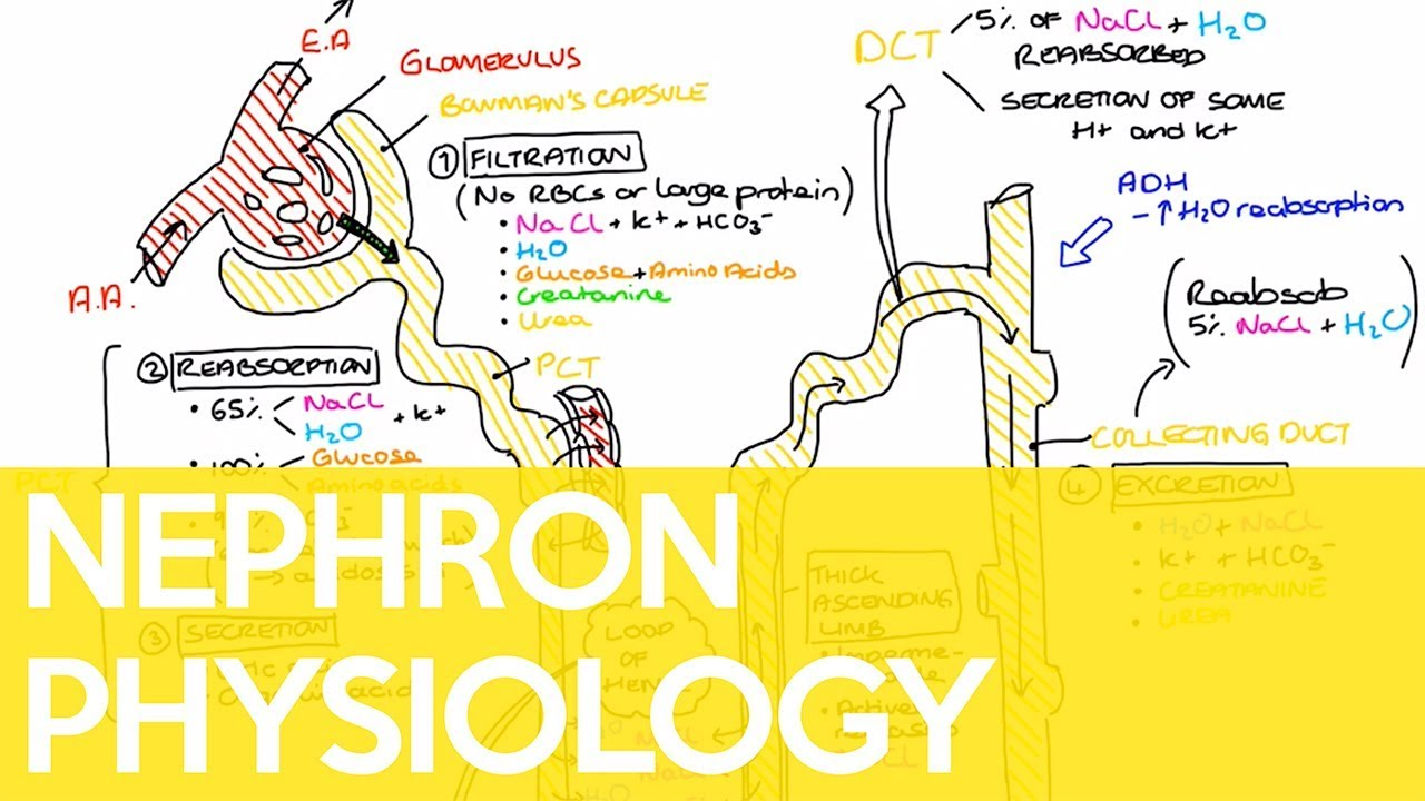 Physiology of the Nephron  Sarah Clifford Illustration