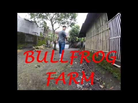 KIMPLING BULLFROG FARM in Sleman Indonesia (MAS KIMPLING)