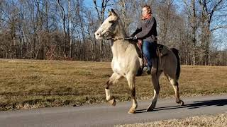 Cool Hand Luke Racking And Saddle Bred Buckskin Gelding