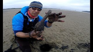 Digging for big clams on the Oregon coast