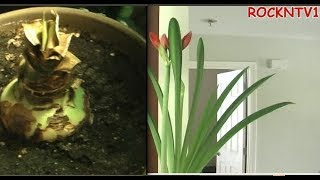 How To force an Amaryllis flower to bloom Time lapse