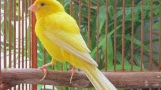 9 Cara Mengatasi Burung Kenari Yang Mengalami Kegemukan