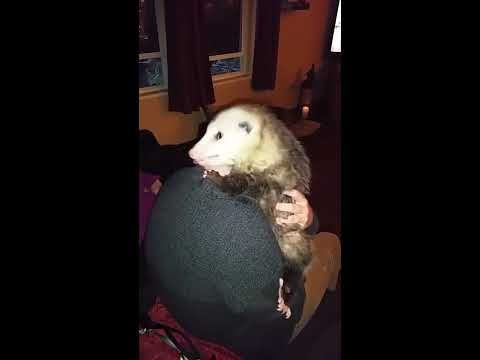 Rescued Opossum Acting More Like A Pet Cat