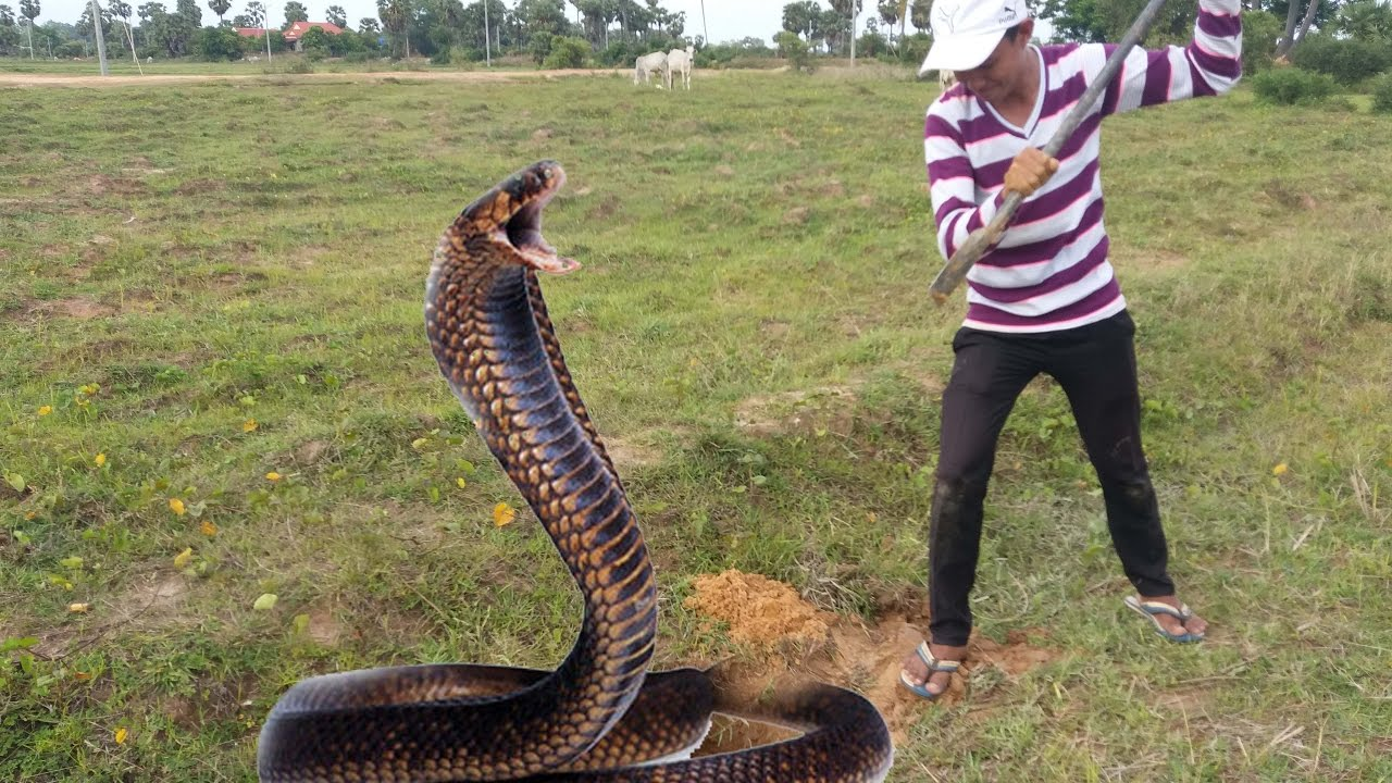 King Cobra Snake Photos: Wow!!!!!Brave Boy Catch King Cobra Snake In My Village By