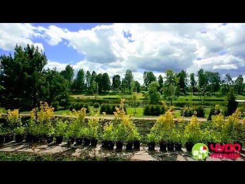Вопрос: Как вырастить живую изгородь?