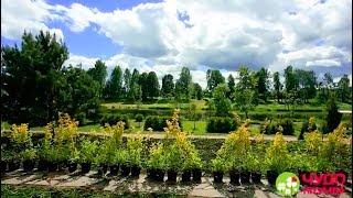 как сажать живую изгородь: расстояние между растениями и примерка дизайна