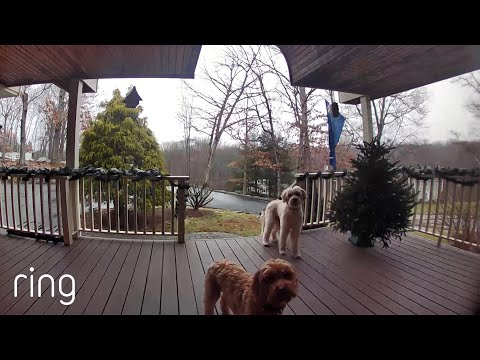 Watch-These-Pups-Reaction-When-Their-Owner-Talks-to-Them-on-Ring-Video-Doorbell-RingTV