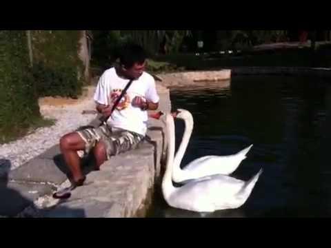 lionel feeding white swans