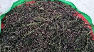 곰취 씨앗 수확 곰취 장아찌 판매 속리산자연농산