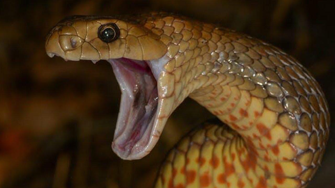 hawaii brown snakes - 1280×720