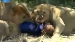 Guy eaten by pack of Lions