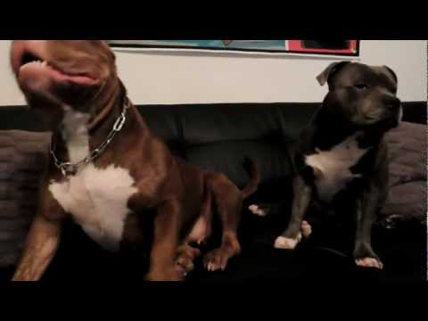 american bully and staffy