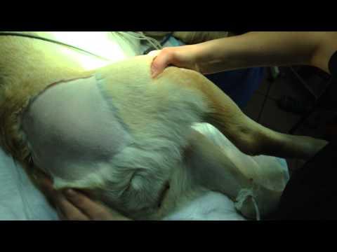 Подвывих ТБС при дисплазии тазобедренного сустава у собаки. Тест Ортолани