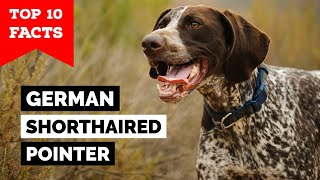 German Shorthaired Pointer  Top 10 Facts