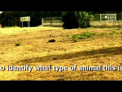 Wild animal in vacant lot 100 yds.from Cram Elementary School in Highland,Ca.mov