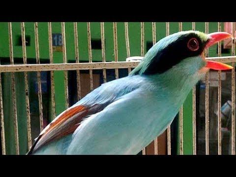 Uniknya Suara Burung Cucak Keling Full Isian