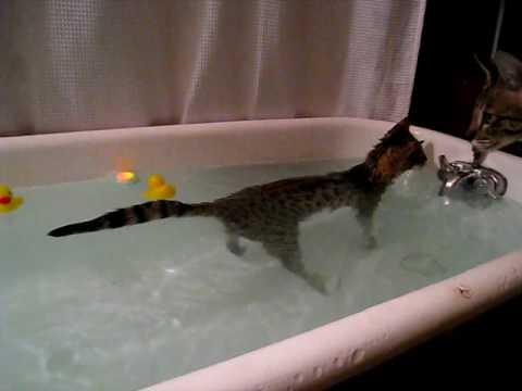 Khandi the Savannah Kitten  Wading, Almost Swimming