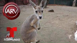 Una bebé canguro sin madre es la consentida de un zoológico | Al Rojo Vivo | Telemundo