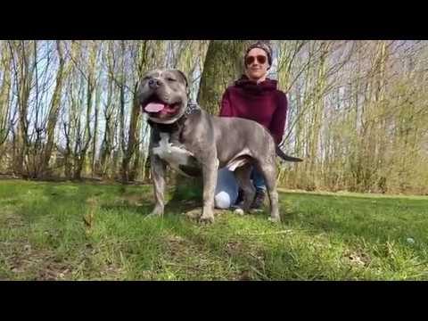 American Bully stud service Lionheart's Bloodline The Legend type XL