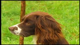 MODERN GUNDOG TRAINING SPRINGER SPANIEL PART 1