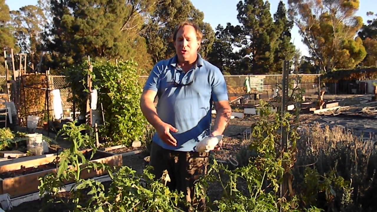 Tomato Plant Gardening Organic Pest Control With Ladybugs - YouTube