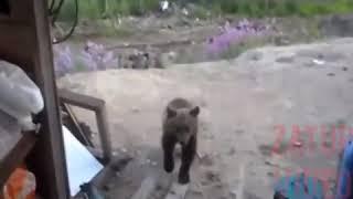 Наподение медведя. Последнее видео геологов!
