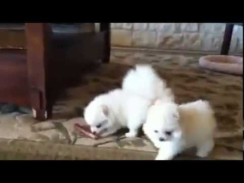 My Cutest Different Breed Pure White Tiny Tea Cup Size Pomeranian