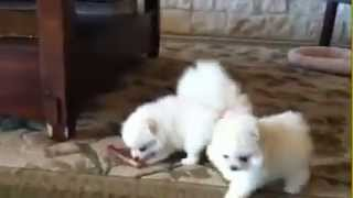 my cutest different breed pure white tiny tea cup size Pomeranian puppies for sale in INDIA