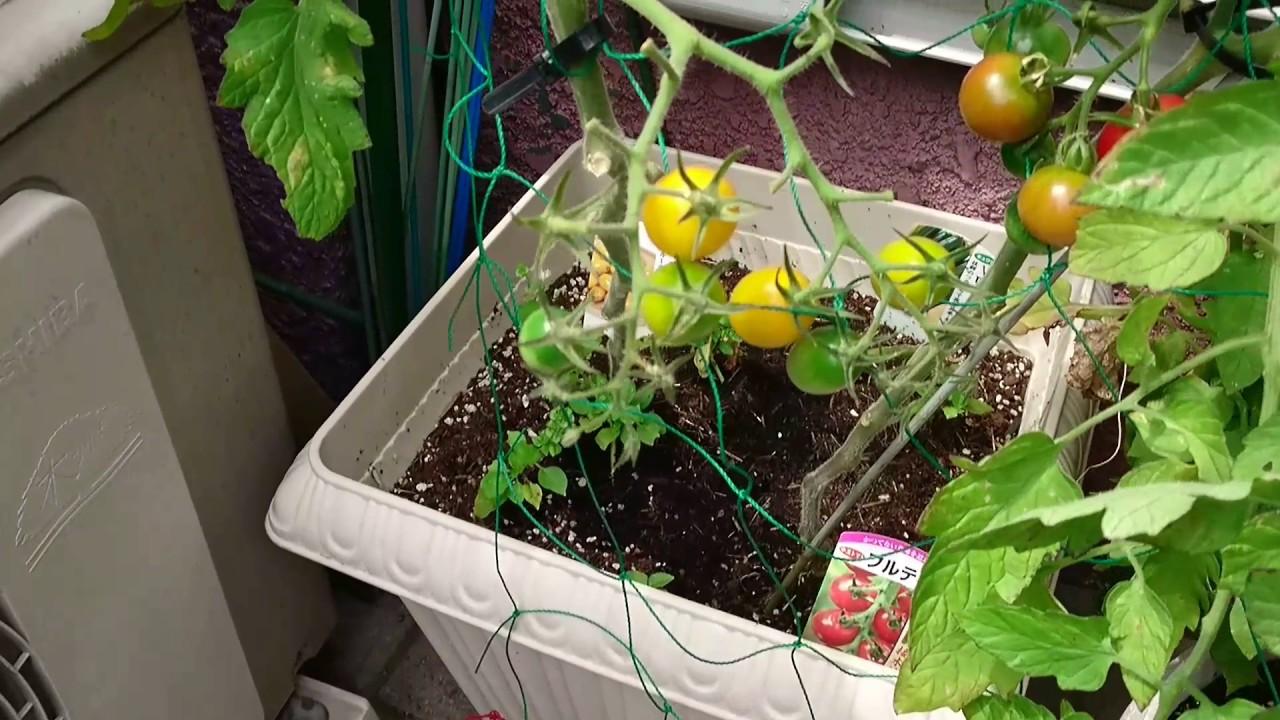 ミニ トマト わき 芽
