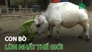 Con bò lùn nhất thế giới   VTC14
