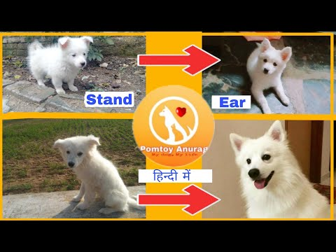 How to satnd ear of your pomeranian or spitz dog