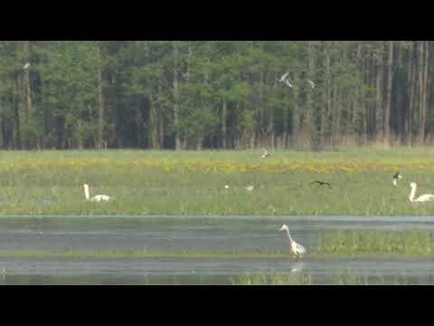 White-winged tern / Rybitwa białoskrzydła