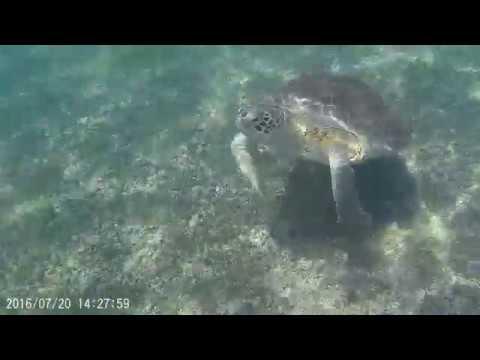 Swimming with Green Sea Turtles in Akumal #3
