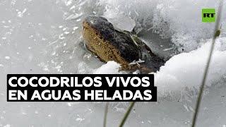 Los caimanes utilizan técnicas de congelación para respirar en aguas heladas | RT Play