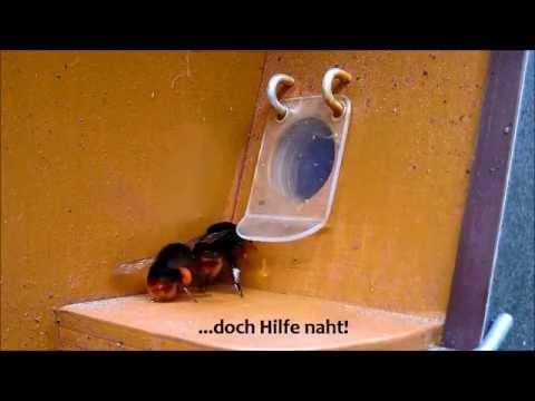 Hummeltischlers Steinhummelvolk in der Hummelpension
