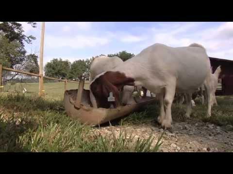 North Georgia Farm Raises Goats For Show Rings