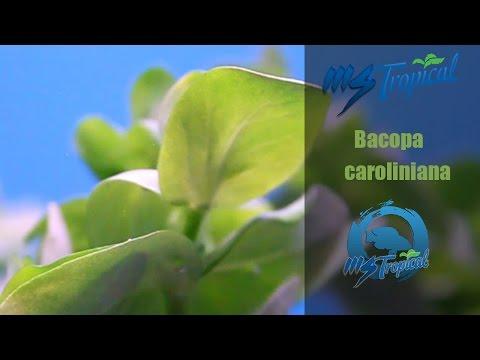 MSTropical | Bacopa Caroliniana