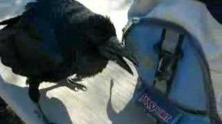 adopted by a raven thumbnail