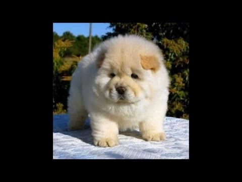 Top 10 most expensive Dogs in the World 2017