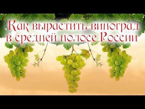 Как вырастить виноград в средней полосе России (часть 1)