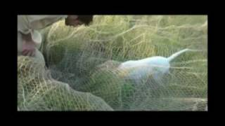 Repeat youtube video Amazing Partridge Hunting with Net and Pointer Pakistan 2012 ( part 03 of 03 )