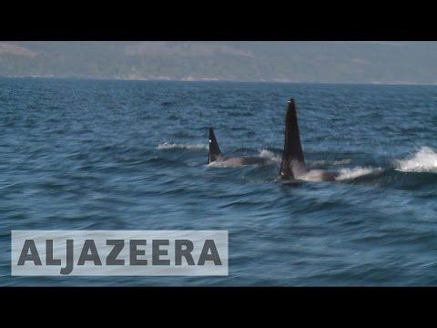 Canada's fishermen look to save endangered killer whale