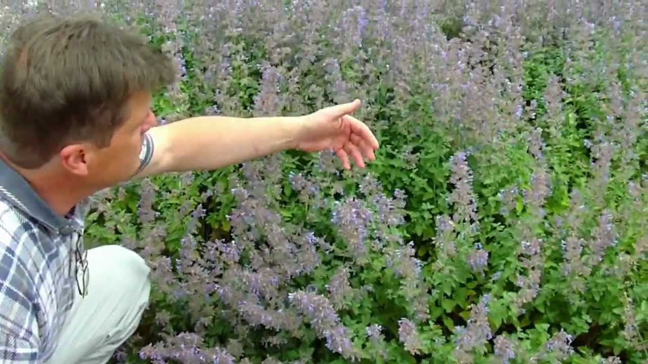 Nepeta Walker S Low Catmint Youtube
