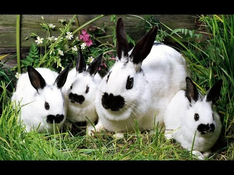 การเลี้ยงกระต่ายแคระ(Rabbit)