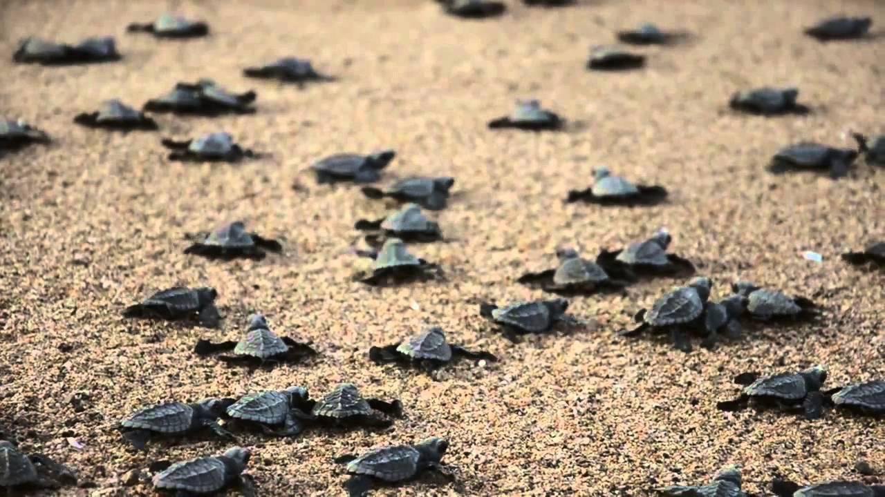 Migración Y Liberación De Tortugas Marinas