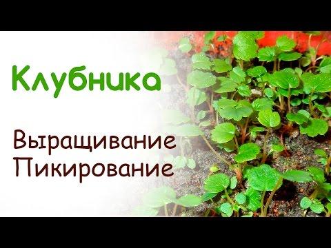 Выращивание клубники из семян, пикирование рассады