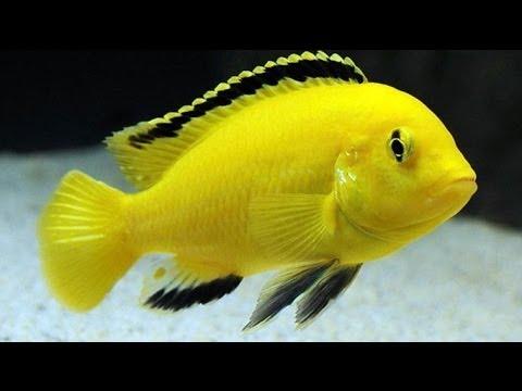 Labidochromis caeruleus, Malawi cichlid - YouTube  Labidochromis c...