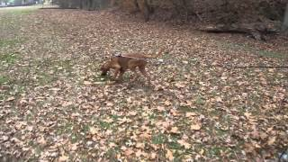 Tracking With Tarheel Canine Training, Inc.